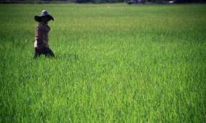 A rice field in Indonesia, the world's most 'land grabbed' country Marc Veraart, under a CC Licence