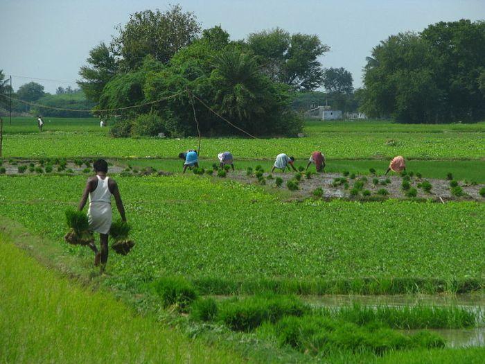 AgriculturalFieldworks&Kanchipuram&TN